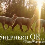 The Shepherd Or… #WilcoWednesday